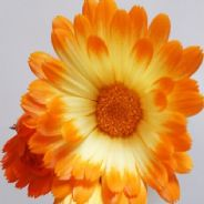 Calendula Oopsy Daisy - Appx 50 seeds